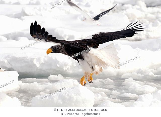 Steller's sea eagle (Haliaeetus pelagicus) flyng on the pack, Russia