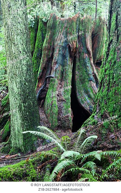 An old decaying stump of a large Western Red Cedar tree