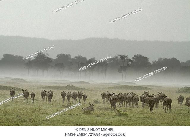 Kenya, Masai-Mara game reserve, wildebeest (Connochaetes taurinus), migration herd under the rain