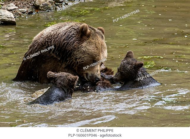Female brown bear (Ursus arctos) playing with two cubs in water of pond in spring