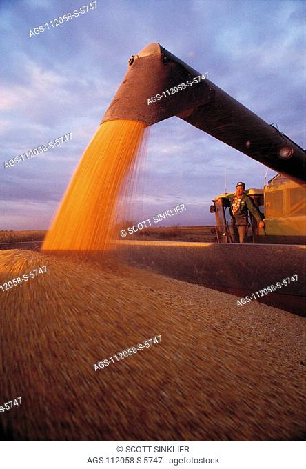 Agriculture - Grain corn harvest, combine auguring corn into grain wagon at sunset while farmer watches / IA