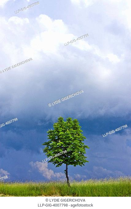 Chesnut-tree near Slavicin - Petruvka, Zlin district, Bile Karpaty, White Carpathian Mountains, protected landscape area, Moravia, Czech Republic, Europe