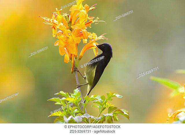 Black throated sunbird, Aethopyga saturata, Sattal, Nainital, Uttarakhand, India