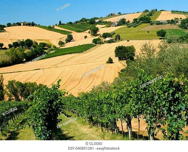 Rural landscape along the road from Corinaldo to Ostra (Ancona, Marches, Italy) at summer