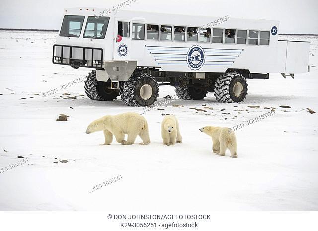 Polar Bear (Ursus maritimus) Individuals attracted to Frontiers North Cape Churchill Tundra Buggy, Wapusk NP, Cape Churchill, Manitoba, Canada