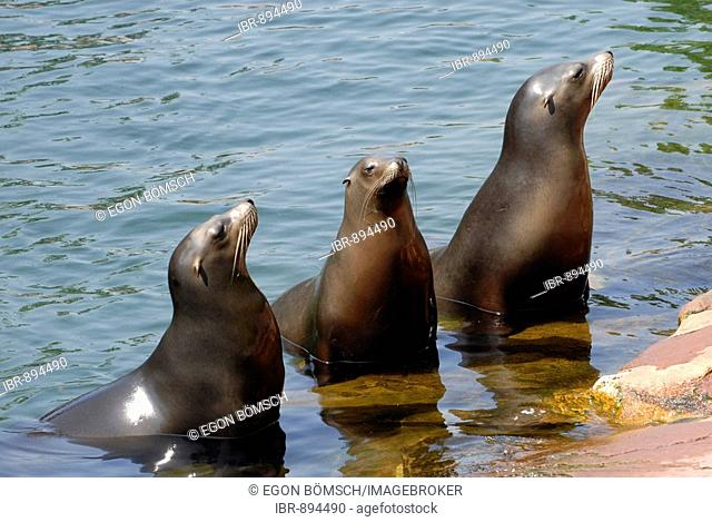 Three California Sea Lions (Zalophus Californianus), zoo, Bavaria, Germany, Europe