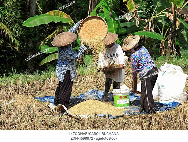 Women working in the fields during rice harvest, near Ubud, Bali, Indonesia. To separate the rice grains from the husks, the rice is winnowed
