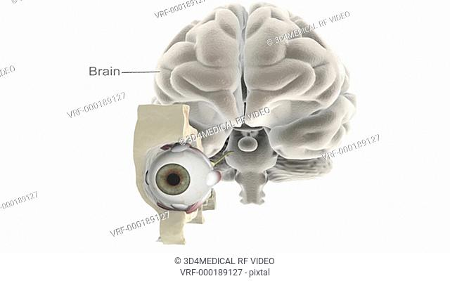 Animation depicting the eye in situ with cutaway skull and brain. The brain fades down as the camera zooms in and centers on the anatomy of the cutaway eye