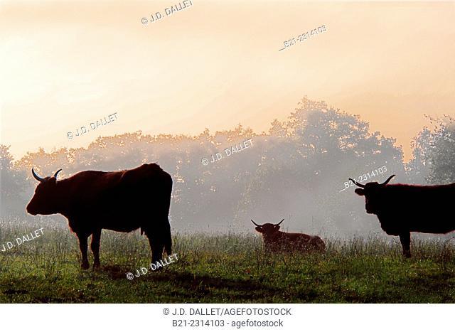 Salers cows by Nieudan, Nieudan, Auvergne, France
