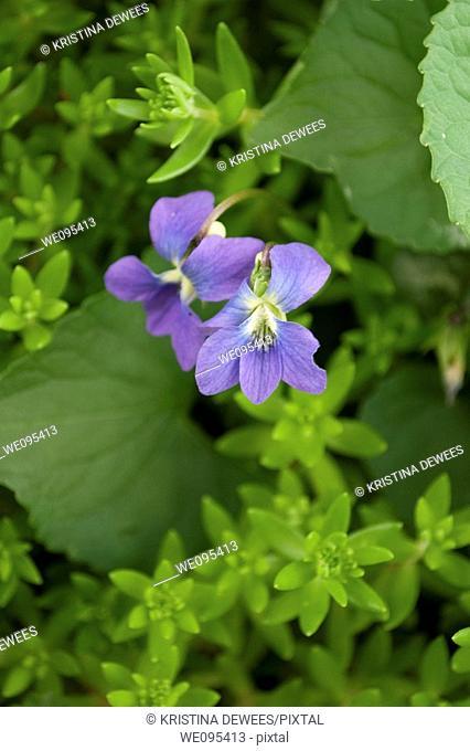 Two wild violets in a Spring garden