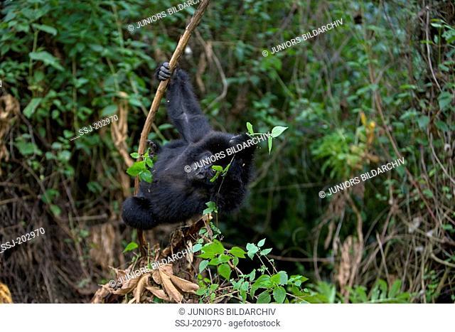 Mountain Gorilla (Gorilla beringei beringei). Juvenile foraging. Volcanoes National Park, Rwanda