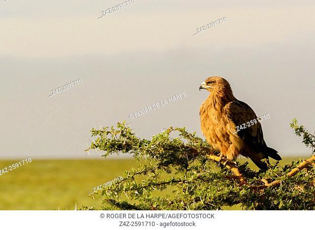 Tawny eagle (Aquila rapax). Ngorongoro Conservation Area (NCA). Tanzania