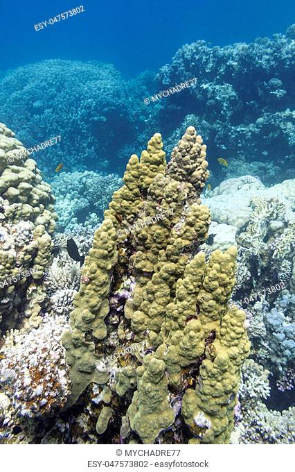 coral reef with great porites coral at the bottom of tropical sea, underwater