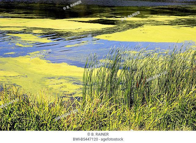 lake Kemande with algae and waterweeds, Germany, North Rhine-Westphalia, Ruhr Area, Bochum