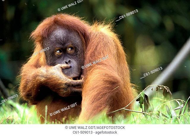 Sumatra Orangutan (Pongo pygmaeus abelii)