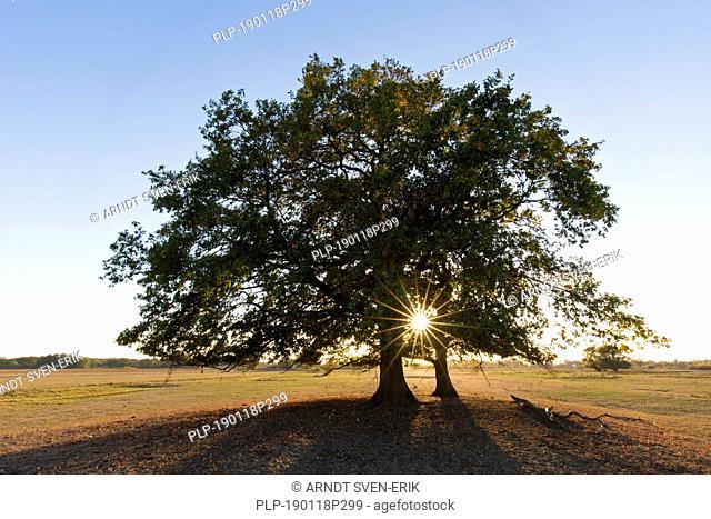 Sun shining behind common oak / pedunculate oak / European oak / English oak tree (Quercus robur) at sunset in autumn