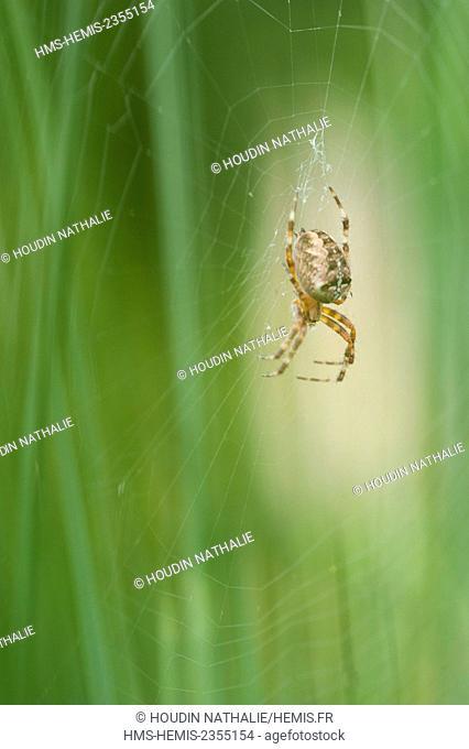 France, Isere, Araneus diadematus