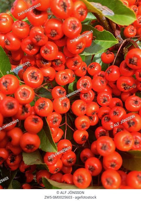 Firethorn (Pyracantha) berries in Ystad, Sweden