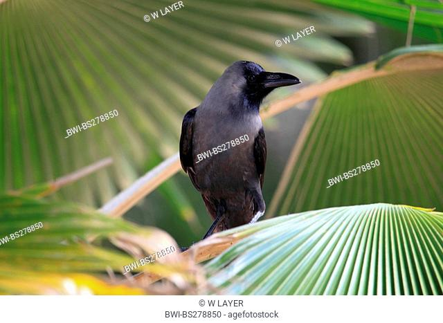 house crow Corvus splendens, sitting on a palmleaf, Tanzania, Sansibar
