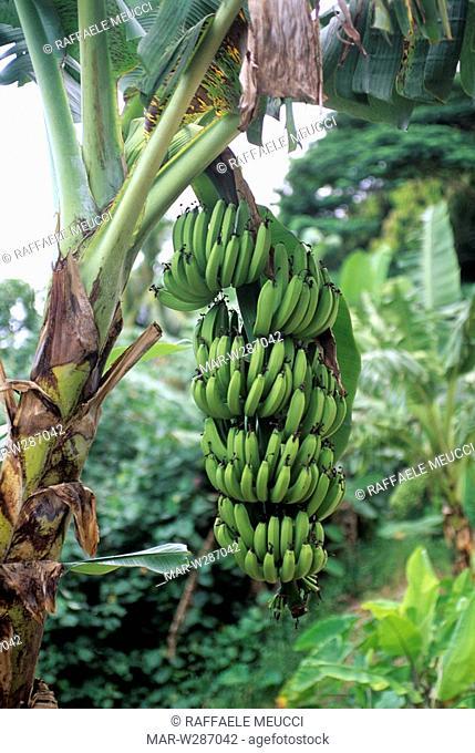 french polynesia, society islands, huahine, bananas