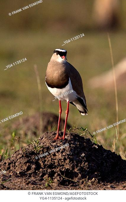 Crowned Lapwing Vanellus Coronatus  Standing on a mound of sand  Portrait  Winter, May 2009  Hluhluwe-Imfolozi Game Reserve, Kwazulu Natal, South Africa