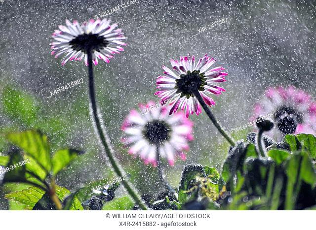 Daisy flowers, waterdroplets, backlit