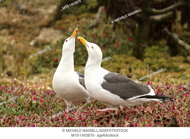 Two adult Sea Gulls