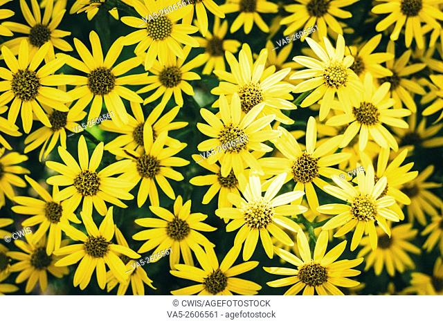 The view of many cute yellow wild chrysanthemum flowers