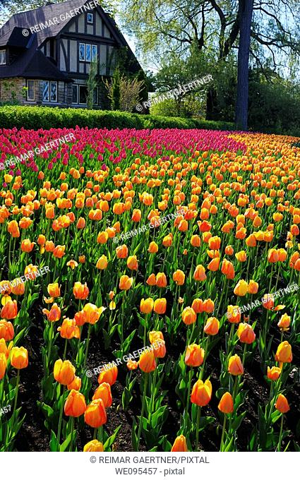 Large bed of orange Blushing Apeldoorn and pink Attila Tulips at Ottawa Tulip Festival with Tudor style house