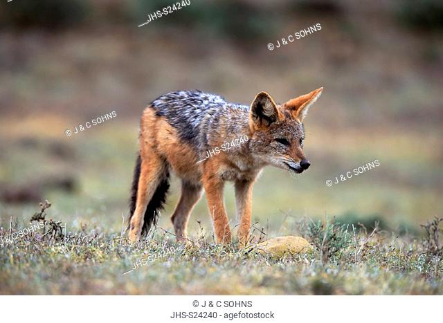 Black-Backed Jackal, (Canis mesomelas), adult alert, Addo Elephant Nationalpark, Eastern Cape, South Africa, Africa