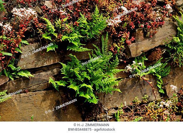 white stonecrop (Sedum album), ferns and white stonecrop in a vineyard wall, Germany, Rhineland-Palatinate, Moseltal