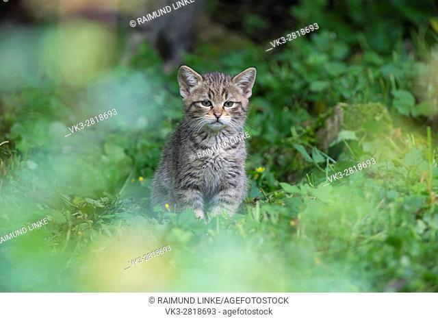 Wildcat, Felis silvestris, Kitten, Germany