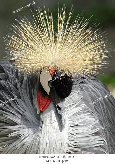 Portrait of a crowned crane