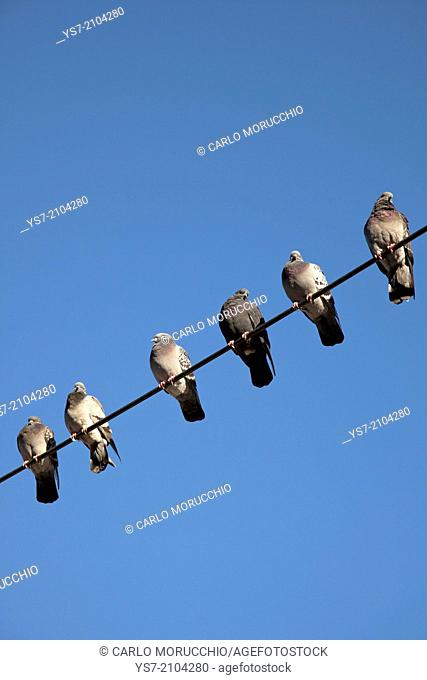 Roosting pigeons, Turin, Italy, Europe