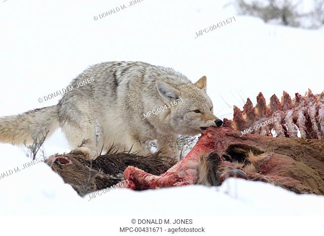 Coyote (Canis latrans) feeding on American Elk (Cervus elaphus nelsoni) carcass, western Montana