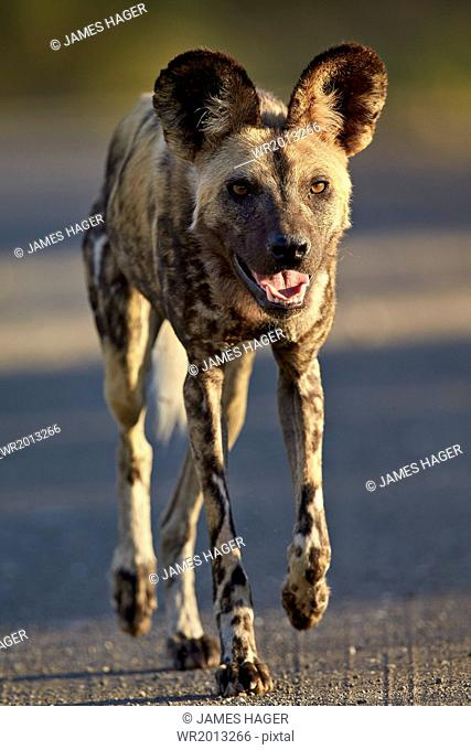 African wild dog (African hunting dog) (Cape hunting dog) (Lycaon pictus) running, Kruger National Park, South Africa, Africa