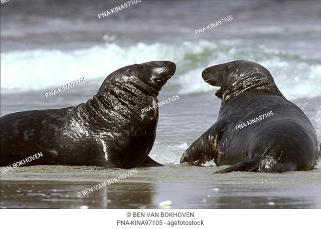 Grey Seal Halichoerus grypus - Heligoland, Schleswig-Holstein, Germany, Europe