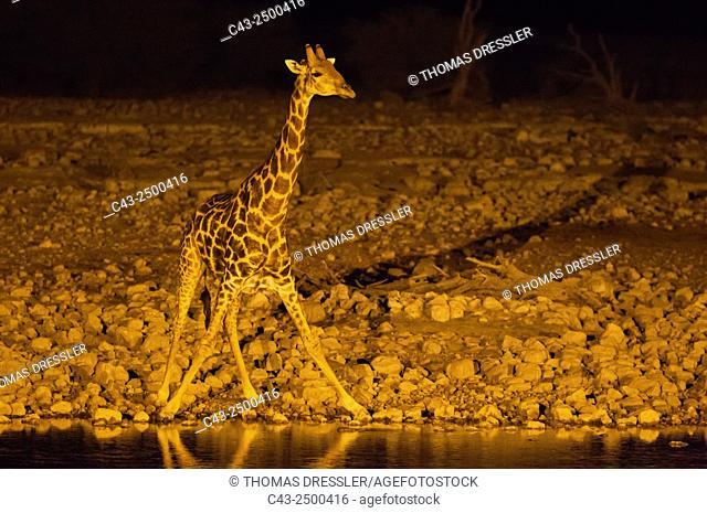 Southern Giraffe (Giraffa camelopardalis giraffa) - Male at night at the floodlit waterhole of the Okaukuejo Camp. Etosha National Park, Namibia