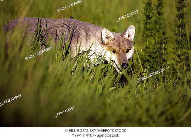 Coyote Decoy - Brevard, North Carolina, USA