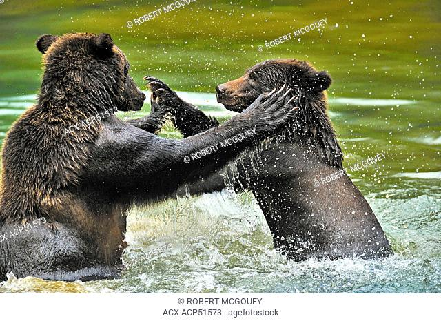 A close up image of a wild adult grizzly bear Ursus arctos being playfully aggressive with her juvenile cub in the waters of Fish Creek in the Tongass National...