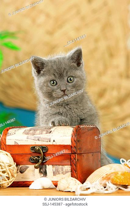 British Shorthair kitten - sitting with treasure chest