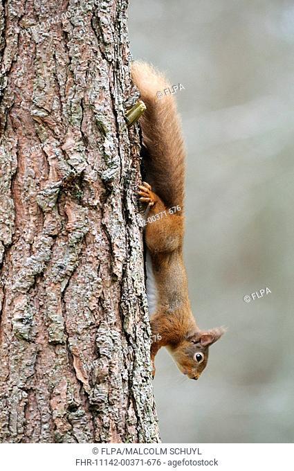 Eurasian Red Squirrel Sciurus vulgaris adult, decending pine tree trunk, Cairngorms, Highlands, Scotland