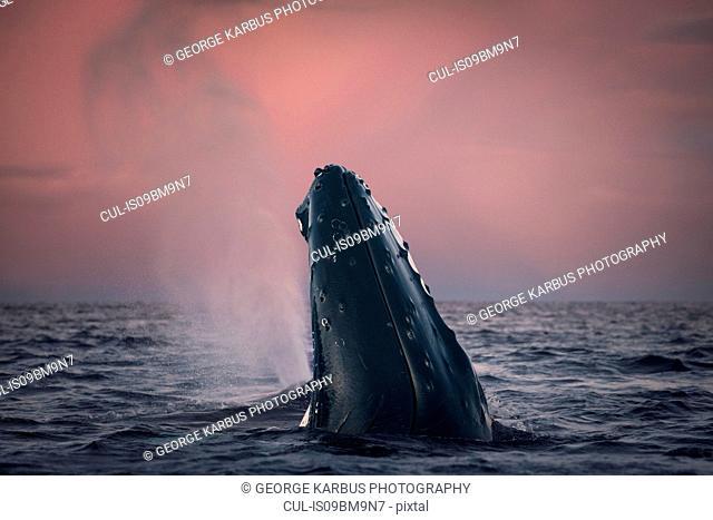 Humpback whale spy hopping, Skjervøy, Troms, Norway