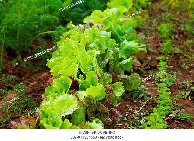Fresh lettuce in outdoor garden