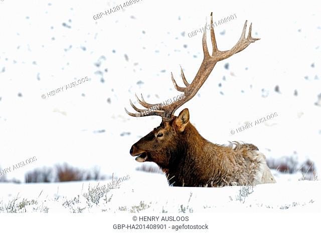 United States of America, USA, Yellowstone, Elk, Wapiti, cervus canadensis, Bull