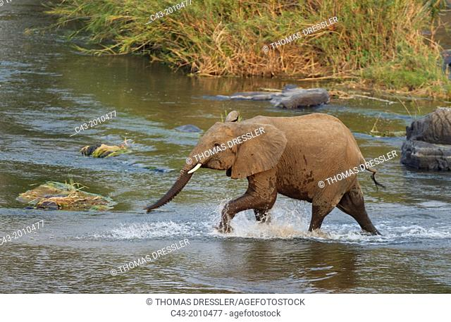 African Elephant (Loxodonta africana) - Subadult male rushing through the Olifants River in order to reach his family which feeds on a reed-grown (Common Reed