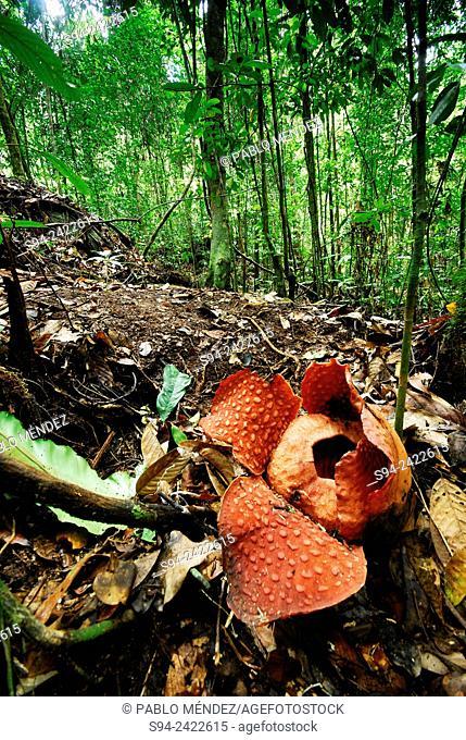 Rafflesia tuan-mudae in Gunung Gading national park, Sarawak, Malaysia, Borneo
