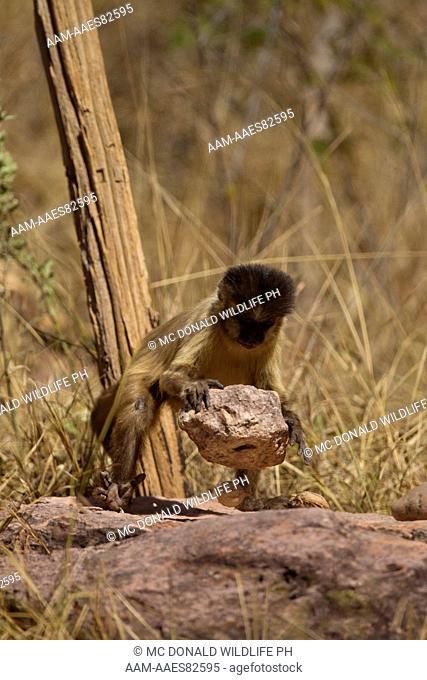 Brown Capuchin Monkey, Cabus apella, using a rock (tool) to break open nuts, Pantanal, Brazil, South America