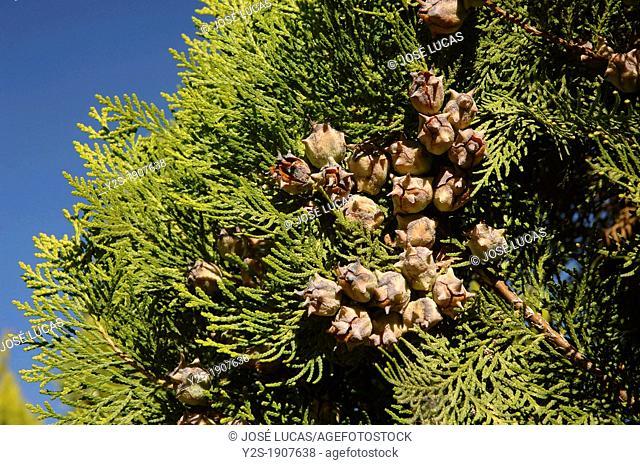 Chinese Arbor Vitae Thuja orientalis, The Alamillo Park, Seville, Spain