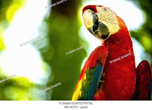 'Scarlet macaw' (Ara macao), This species is famous for its vivid red feathers, which cover its back, head and the lower part of its tail